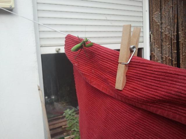 Mantis religiosa, Azoz, Navarra, septiembre 2013, cazando moscas domésticas en tendedero