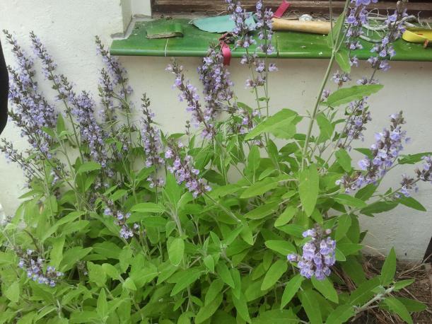 Salvia del mini huerto del Patio Viviente. 7 de junio 2013