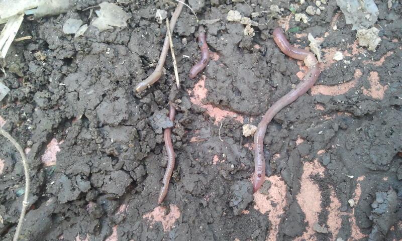 Cuantas lombrices puede haber debajo de un saco de   tierra... 7 de Mayo 2014