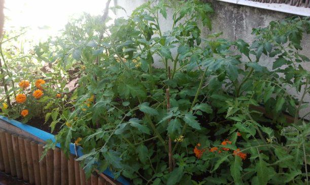 Huerto del Patio Viviente, 15 junio de 2014, Tomateras y Tagetes