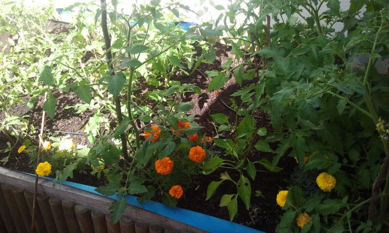 Huerto del Patio Viviente, 15 junio de 2014. Tomateras, Pimientos y Tagetes