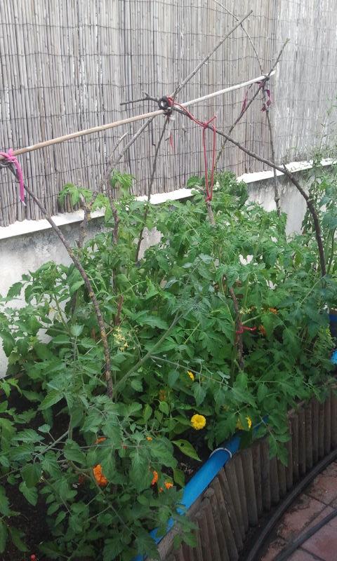 Tutores de las tomateras del huerto del Patio Viviente, 18 junio de 2014