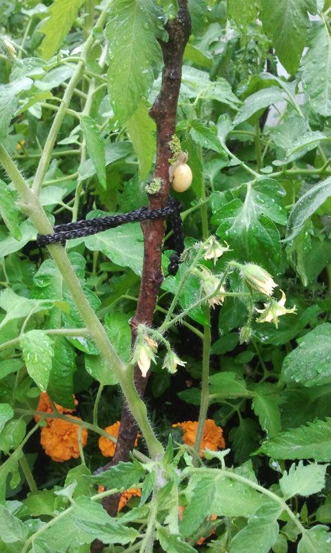 Caracol alimentándose de liquen de Tutor de tomatera del huerto del Patio Viviente, 23 junio de 2014