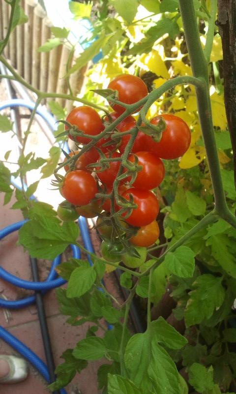 Racimo de tomaticos Cherry o cereza. Huerto del Patio Viviente. 7 agosto de 2014