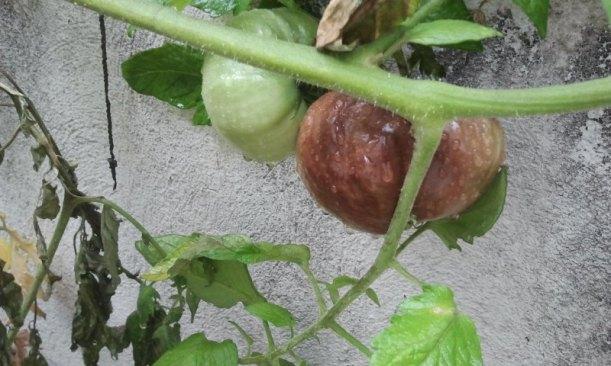 Tomates afectados por hongos. Patio Viviente. 22 agosto de 2014