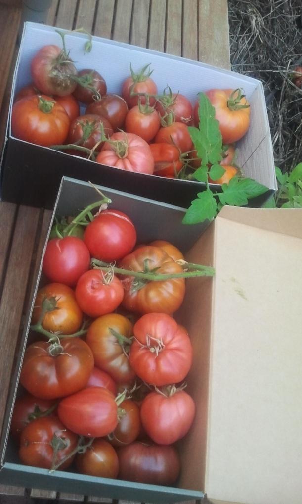 Tomates de diferentes variedades. Huerto del Patio Viviente. 27 agosto 2014