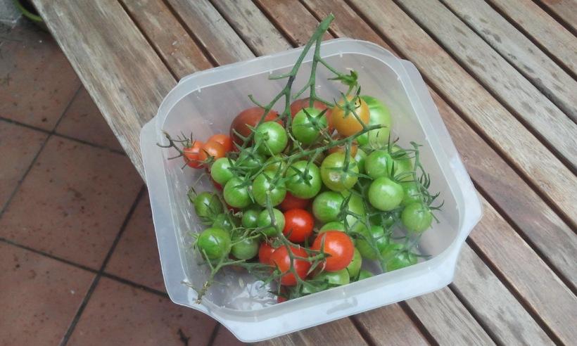 Ultimos tomates cherry cogidos en huerto del Patio Viviente. Nada menos que 2 noviembre de 2014
