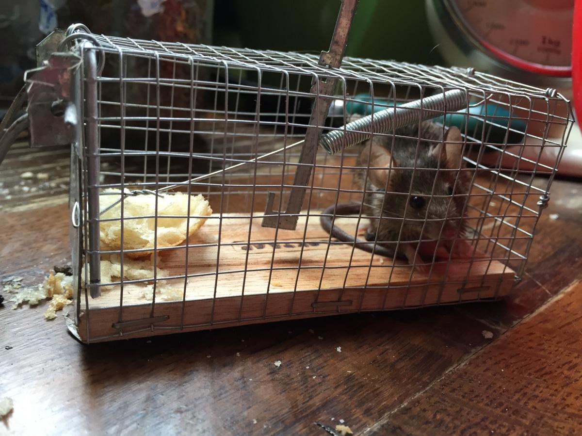Otro mamífero en el Patio Viviente: cazar vivo o muerto al Ratón ...