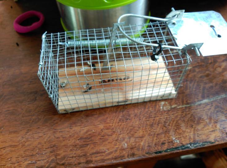 Cascaras de pipas con interior devorado en trampa para coger ratón vivo. Patio viviente. 12 de Mayo de 2015