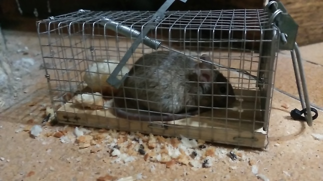26-9-2015 Segunda captura de Ratón Casero en casa del Patio Viviente, Azoz, Navarra