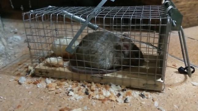 El rat n casero vuelve 2 captura y m s el patio viviente - Como cazar ratones ...