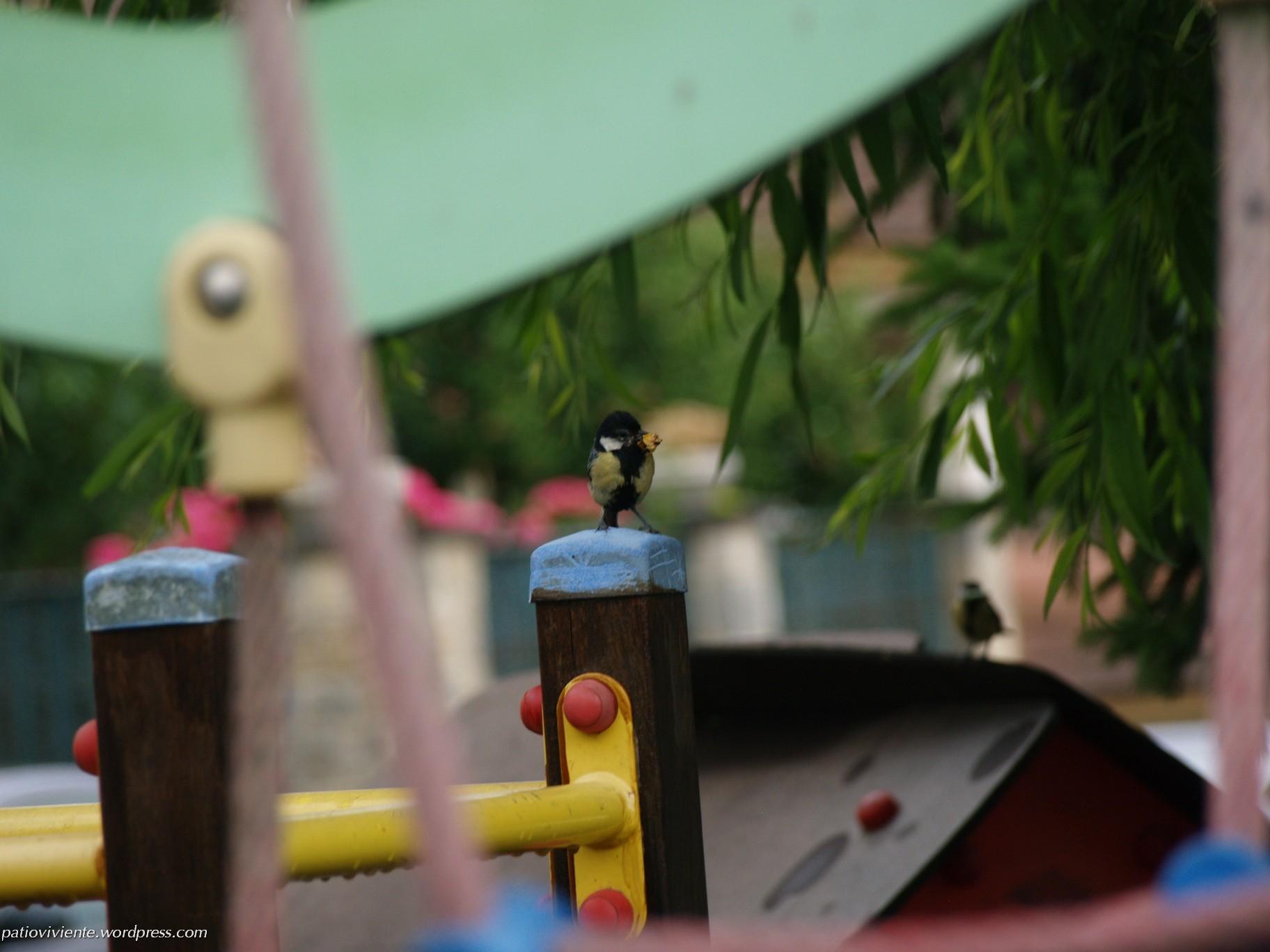 Pareja de Carbonero Común (Parus major) portando alimento a su prole en nido por los suelos. Azoz (Navarra) 1 de julio de 2017