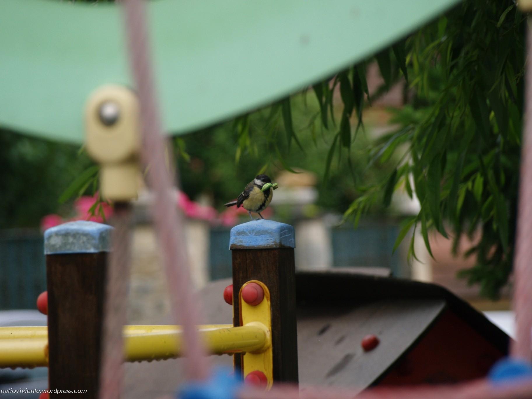 Carbonero Común (Parus major) portando alimento a su prole en nido por los suelos. Azoz (Navarra) 1 de julio de 2017