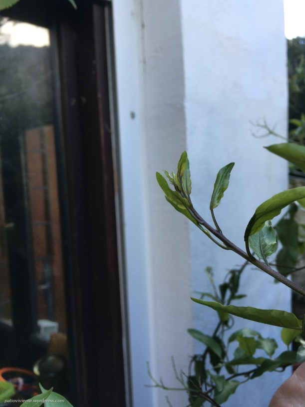 Brotes de Solanum jasminoides. Patio viviente, Azoz, Navarra. 2 de Febrero de 2018