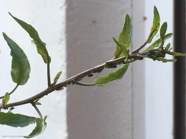 Pulgones Verdes en Falso Jazmín (Solanum jasminoides) del Patio Viviente de Azoz, Navarra. 2 de Febrero de 2018